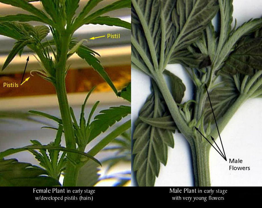 How to sex a marijuana plant seems me