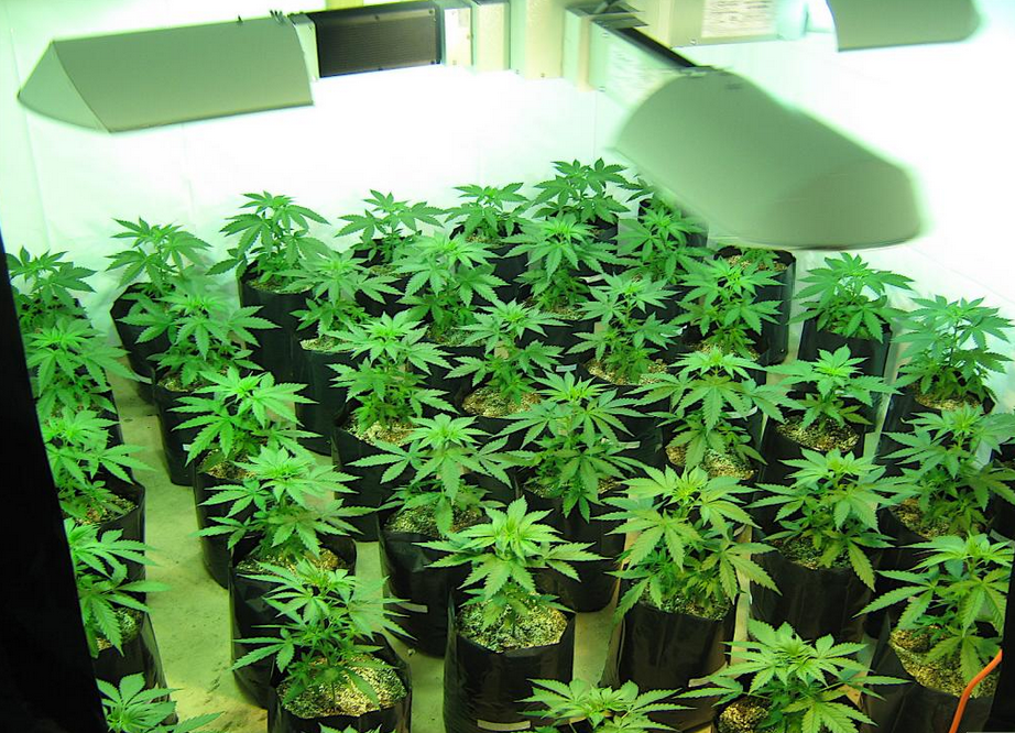 Worldwide Indoor Marijuana Grow Guide | The Best and Easy