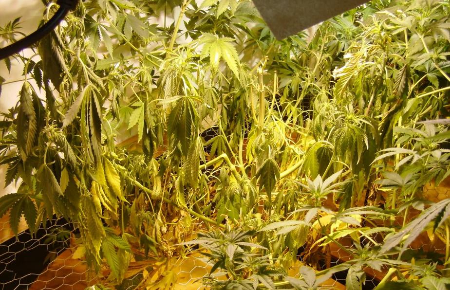 Worldwide Indoor Marijuana Grow Guide The Best And Easy